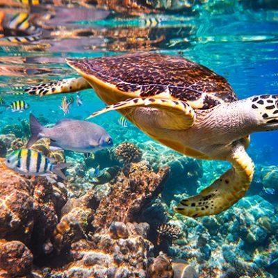 web_Hawksbill turtle
